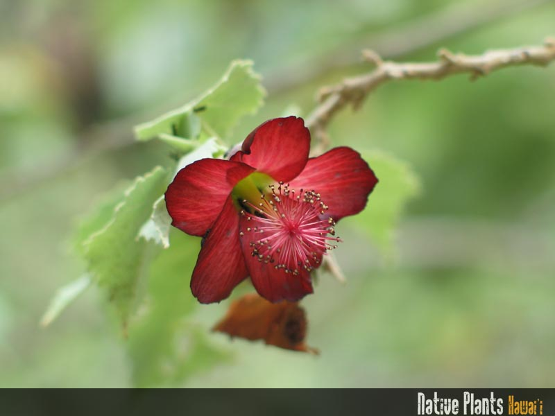 Photo: Abutilon_menziesii_00001